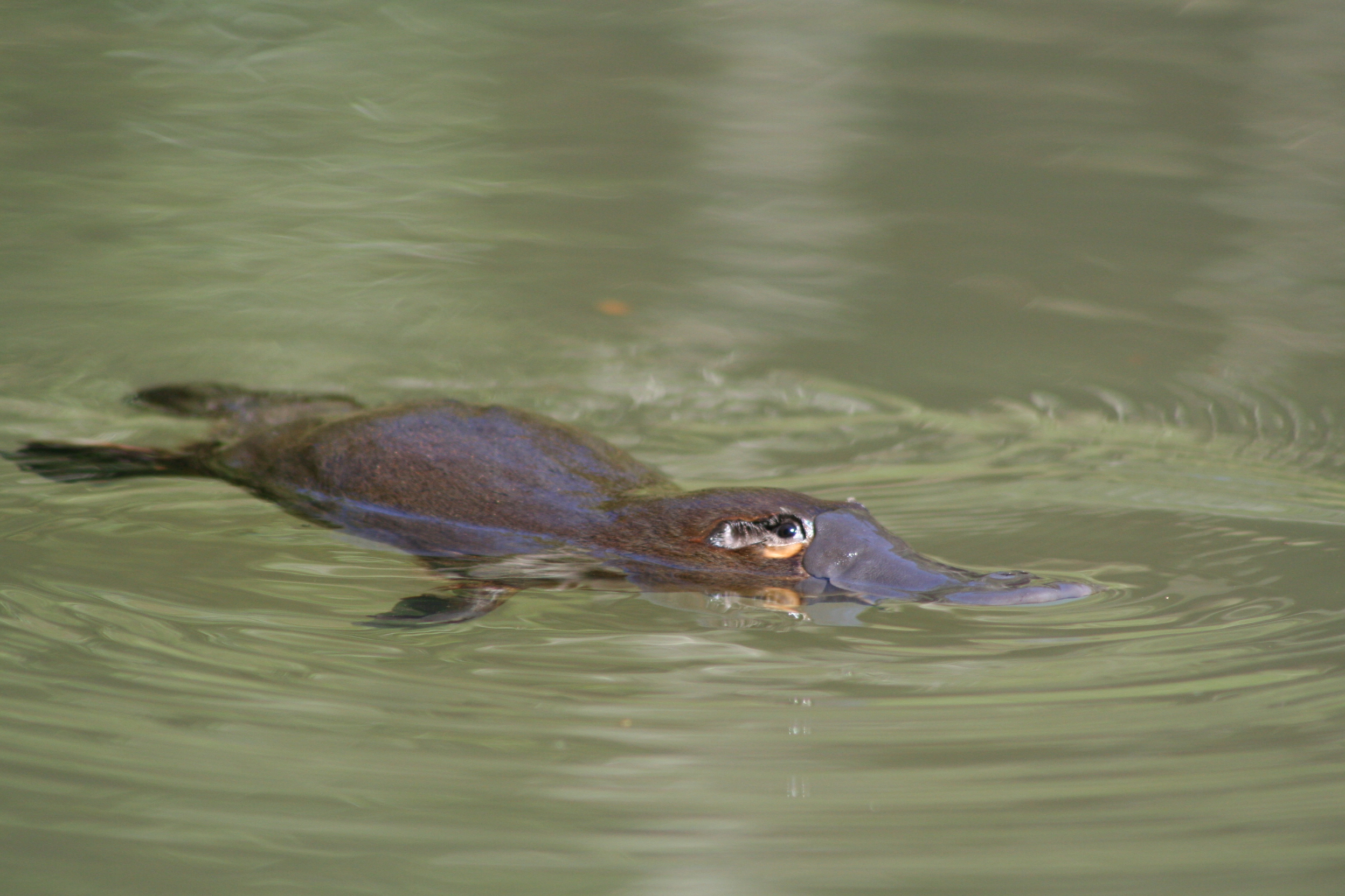 platypus-kirsty