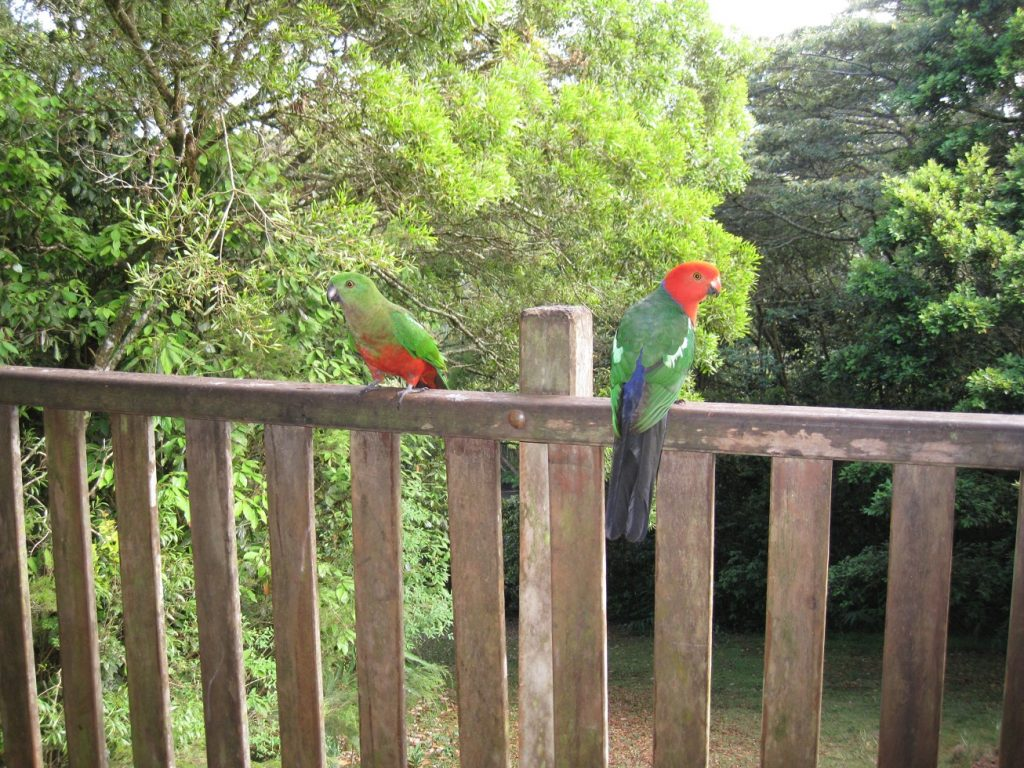 King parrots on Maple veranda, Andrew