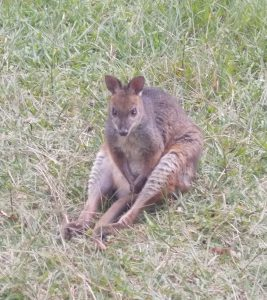 Very relaxed wallaby