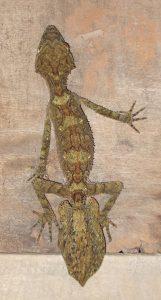 leaf-tailed lizard