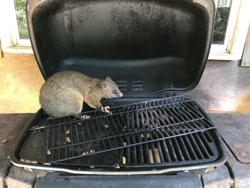 Barbequed  possum anyone?