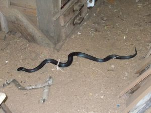Black snake in workshop