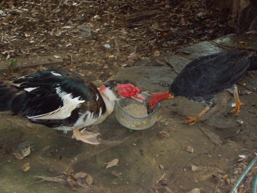 Duck & Turkey